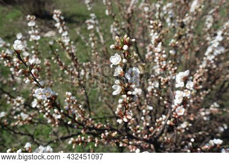 Beginning Of Florescence Of Prunus Tomentosa Shrub In March