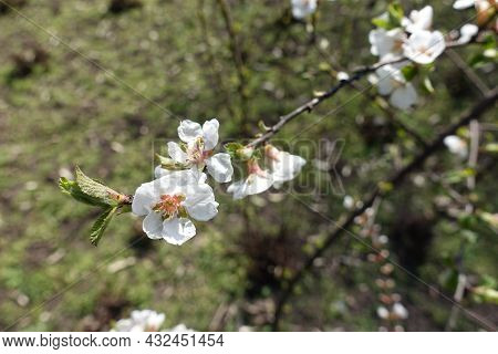 Close Shot Of White Flowers And Fresh Leaves Of Prunus Tomentosa In March