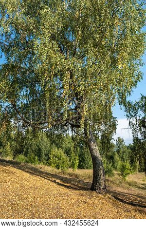 An Old Birch Tree With Yellow And Green Leaves On The Background Of A Forest And A Blue Sky, Russia.