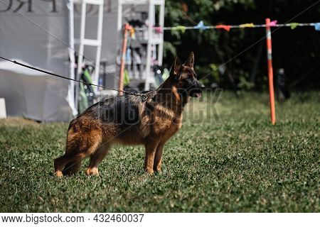 German Shepherd Of Black And Red Color Stands Beautifully In A Pedigree Stand At Dog Show. Shepherd