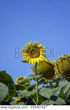 Unripe Sunflower On Background Of Bright Clear Blue Sky. Cultivation Of Agricultural Butter Culture.