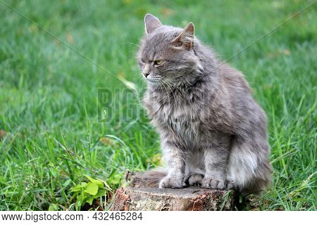 Angry Gray Cat Sitting On A Tree Stump On A Green Lawn. Portrait Of Grumpy Pet Outdoors
