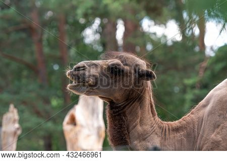Portrait Of A Camel With A Green Background, Camelus Bactrianus, Brown Fur Mammal Closeup