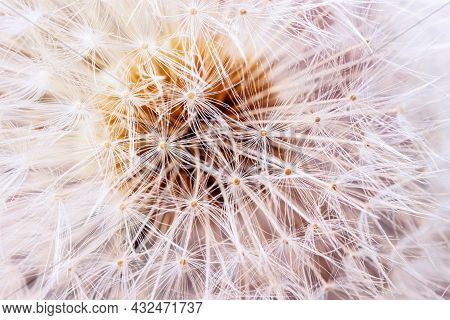 Airy And Fluffy Seed Dandelion Flower Close-up. Selective Soft Focus. Floral Background