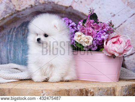 Purebred Spitz breed, family friendly funny pom dog