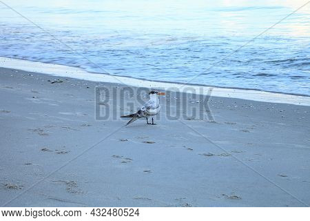 Royal Tern Stands On The White Sand Beach And Overlooks The Ocean In Naples, Florida.