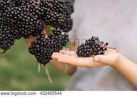 Girl Holds In Hands Clusters Fruit Black Elderberry. Sambucus . Elder, Black Elder. European Black E
