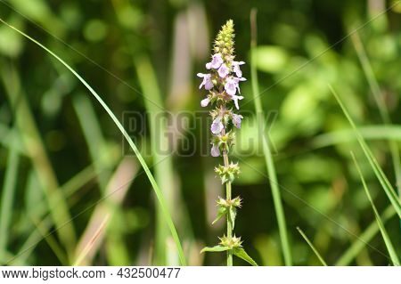 Marsh Woundwort In Bloom Close-up View With Green Blurry Background