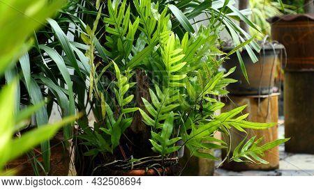 The Wart Fern Of Hawaii, Phymatosorus Grossus (langsdorff & Fischer) Brownlie, Maile-scented Fern In