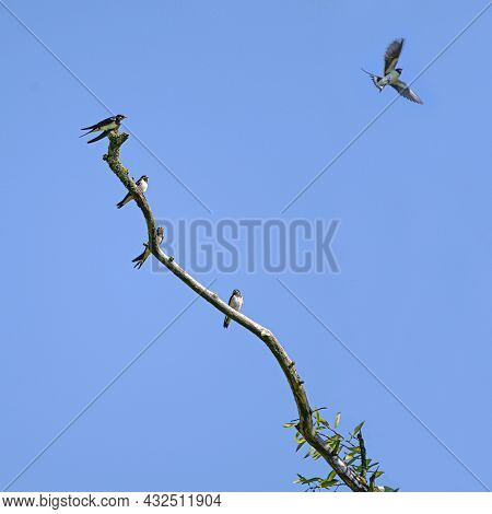 Group Of Barn Swallows (hirundo Rustica) Sitting On A Bare Branch, One Of The Birds Is Flying Into T