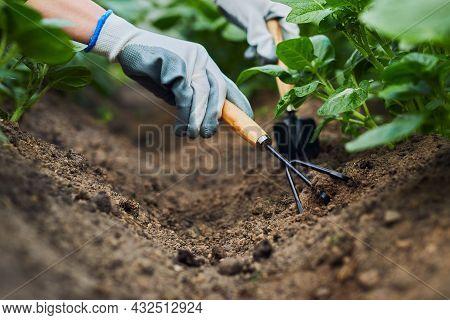 Hill Potato. Hand Of Gardener Hold Pitchfork Or Rake On Potato Field. Work On Potato Field.
