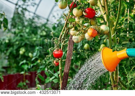 Watering Tomatoes Plant In Greenhouse Garden. Hand With Watering Can In Greenhouse Watering The Toma