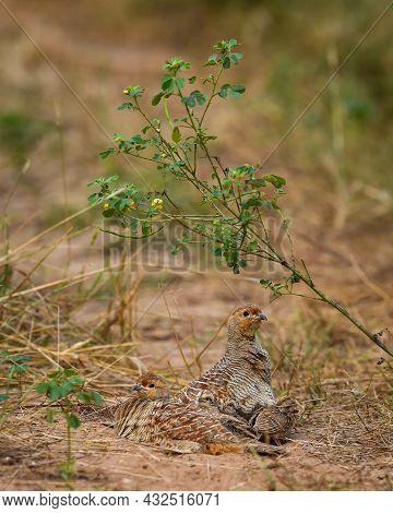 Grey Francolin Or Grey Partridge Or Francolinus Pondicerianus Family In Natural Monsoon Green Backgr