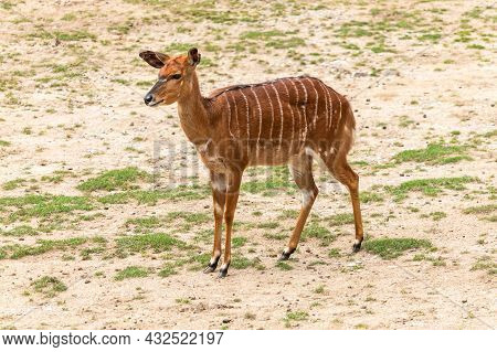 Antelope - One Standing Female Lowland Nyala, On The Steppe