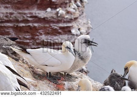 Northern Gannets With A Youngster Sitting On The Rocks