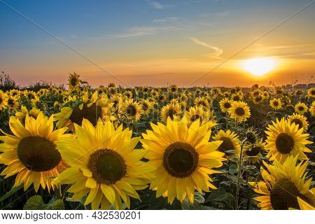 Field Of Sunflowers. Summer Sunset Landscape With Golden Yellow Flowers In Full Bloom. Orange And Bl