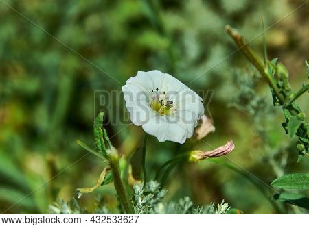 Papaver Lapponicum Species Of Poppy Known By The Common Names Lapland Poppy. It Is Endemic To Laplan