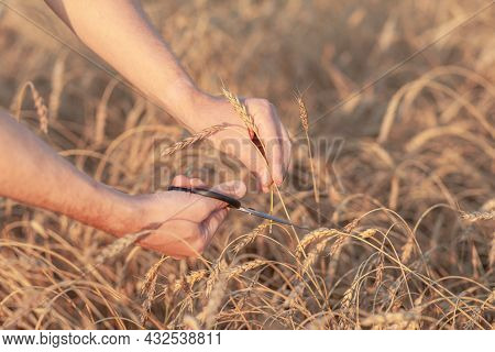 Wheat Field. Hands Holding Ears Of Golden Wheat Close Up. Ripe Ears Of Wheat Are Cut Off. Rural Scen