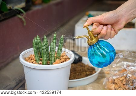 Someone Hand Water A Plants Named Sansevieria Cylindrica (or Snake Plant) Tree After Planting. This