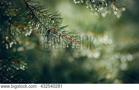 Wet Green Branches Of Pine Trees After A Rain. Raindrops On A Pine Tree.