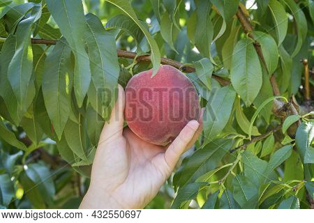 Hand Reaches To Pick A Nectarine From The Tree.