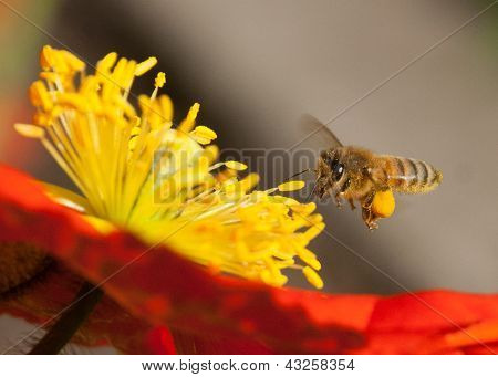 Bee Hovers Over A Poppy