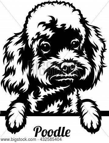 Poodle Peeking Dog - Head Isolated On White