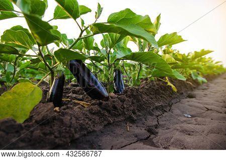 Dark Ripe Eggplants Fruits On Bushes. Agriculture, Farm. Food Production. Solanum Melongena L. Agroi