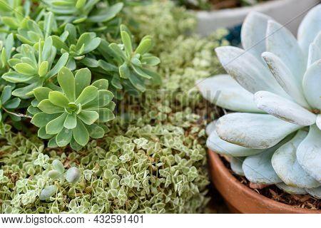 Top View Of Various Types Of Green Flowering, Echeveria, Sedum, Succulent Outdoor Plants In Pots.