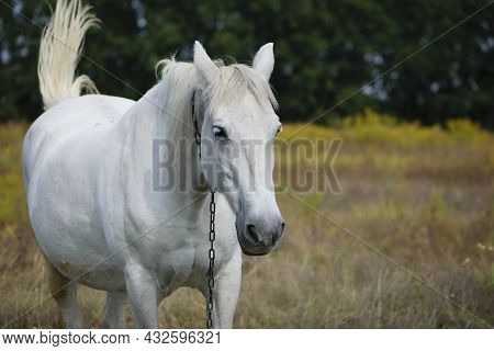 White Horse. Close-up Portrait Of A Horse. Beautiful Horse On Dry Grass In The Field. Arabian Horse
