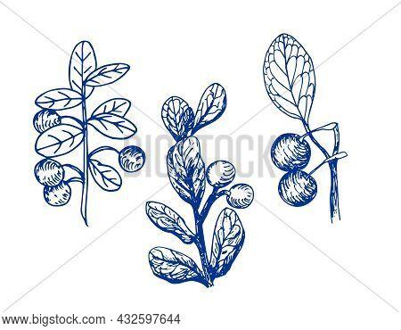 Bog Blueberry. Hand Drawn Blue Outline Vector Illustration.