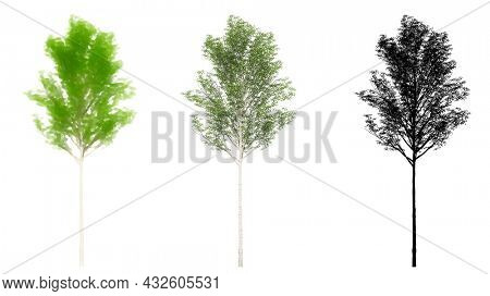 Set or collection of European Aspen trees, painted, natural and as a black silhouette on white background. Concept or conceptual 3d illustration for nature, ecology and conservation, strength