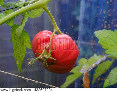 A Large Heritage Beefsteak Tomato Shown In A Semi Ripe State