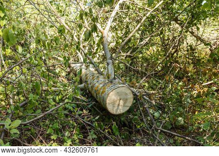 Felled Aspen Tree. The Sawn Trunk Of A Tree Is Lying On The Ground In The Forest.