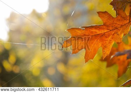 Autumn Concept. Autumn Foliage. Variegated Leaves Of An Acorn Against A Blurred Sky And Green Leaves