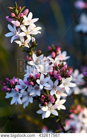 White Flowers And Pink Buds Of The Australian Native Box Leaf Waxflower, Philotheca Buxifolia, Famil
