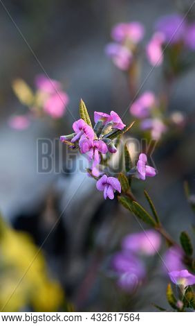 Delicate Small Pinkish Purple Pea Flowers Of The Heathy Mirbelia, Mirbelia Rubiifolia, Family Fabace