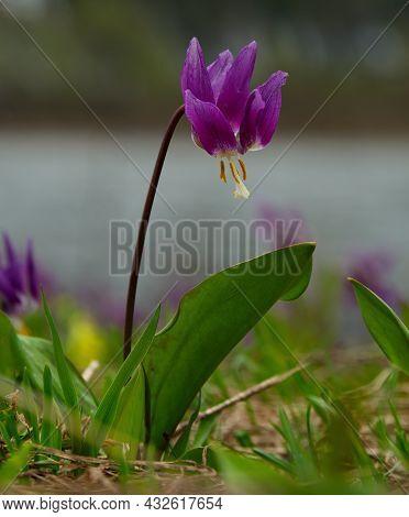 Russia. South Of Western Siberia, Kuznetsk Alatau. Siberian Spring Flowers On The Southern Slopes Of