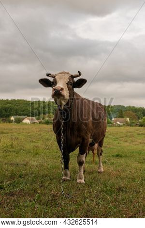 Photography On Theme Beautiful Big Milk Cow Grazes