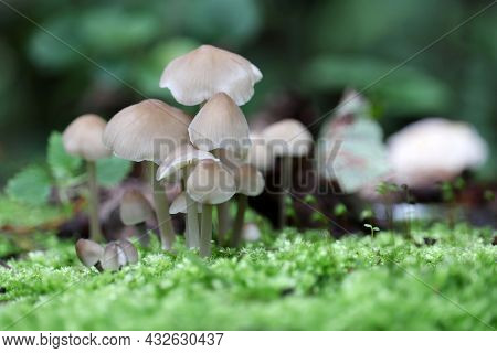 Toadstool Mushrooms In The Forest, View Through The Green Moss