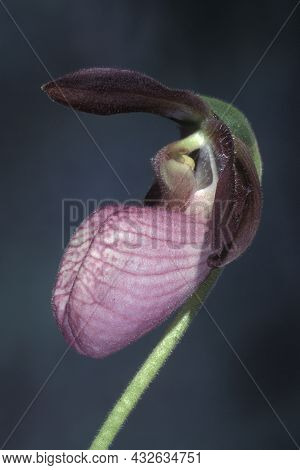 A Pink Lady Slipper Orchid Grows In The Wild At The Edge Of A Dry Woodland In New Jersey