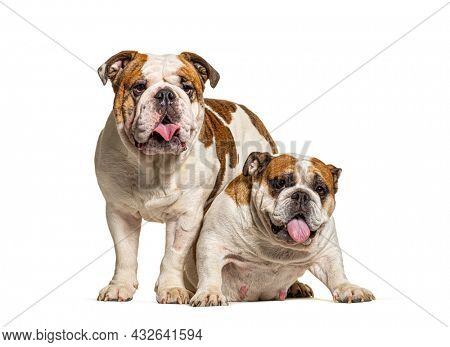Two English Bulldogs sitting together in front of white background