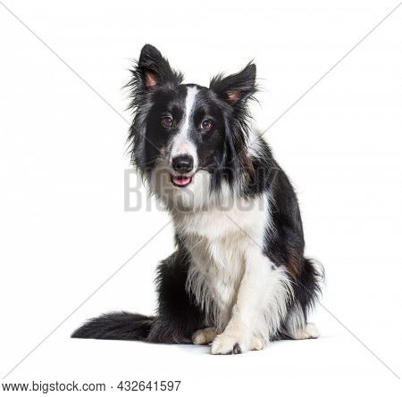 black and white Border Collie dog, intrigued, sitting and looking at camera. Isolated