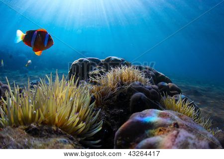 Red clown fish swimming near its home situated in poisonous actinia
