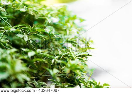 Fresh Green Bush Background, Empty Space To Insert Text. Nature And Herbaceous Plants.