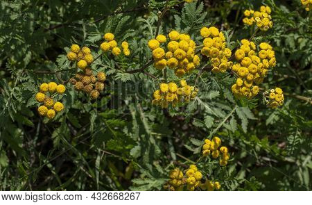Blooming Tansy (tanacetum Vulgare) In The Field. Yellow Flowers Of  Common Tansy Or Bitter Button. F
