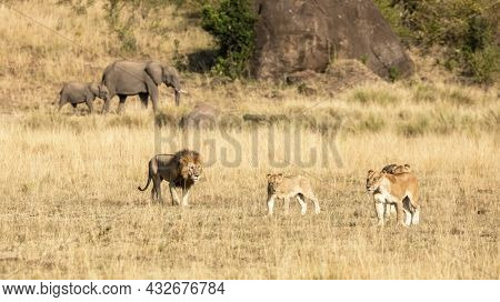 Pride of lions, panthera leo,, a male and three females, in the grasslands of the Masai Mara, Kenya. An elephant mother and calf can be seen walking past behind.