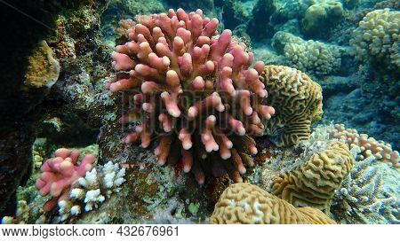 Stony Coral Hood Coral Or Smooth Cauliflower Coral (stylophora Pistillata) And Lesser Valley Coral (