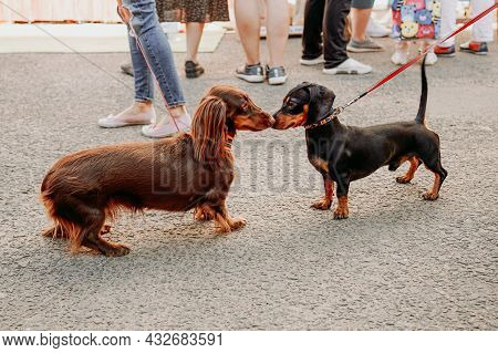 Two Dachshund Dogs Get To Know And Greet Each Other With Their Noses. Walking The Dogs. Pet Friendly