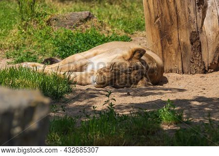 Indian Lion - Panthera Leo Persica Female Lying On The Ground Under A Tree.